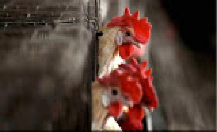 Bird Flu: तीन राज्यों में मुर्गियों में मिला वायरस, जानें लक्षण और बचाव के उपाय
