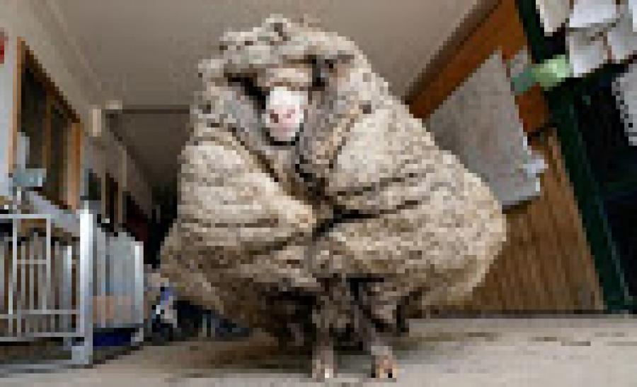 Baarack Sheep: ऑस्ट्रेलिया में भेड़ के लिए ऊन ही बनी मुसीबत, Rescue करके बचाई गई जान